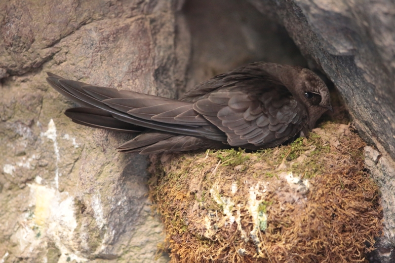 American Black Swift