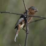 Chestnut Seedeater
