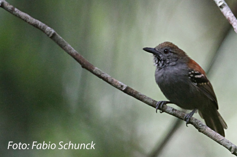 Stipple-throated Antwren