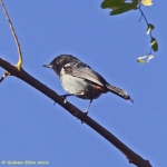 Grey-bellied Flowerpiercer