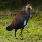 Tasmanian Nativehen