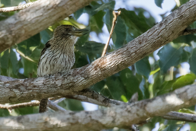 Eastern Striolated Puffbird