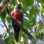Crimson-bellied Parakeet