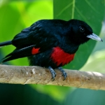 Black-and-crimson Oriole