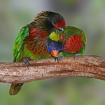 Lories and Lorikeets