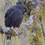 White-rumped Hawk