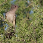 Ash-colored Cuckoo