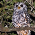 Chaco Owl