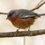 Rusty-browed Warbling Finch