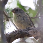Large Tree Finch