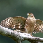 Semicollared Hawk