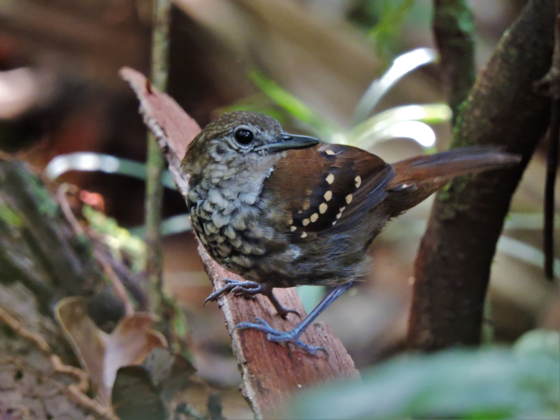Grey-bellied Antbird