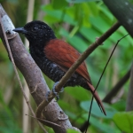 Chestnut-backed Antshrike