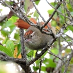 Streak-capped Spinetail