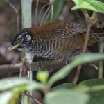 Sooty-headed Wren