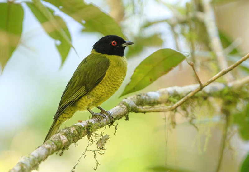 Black-headed Berryeater