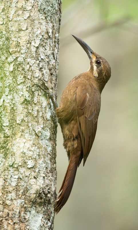 Moustached Woodcreeper