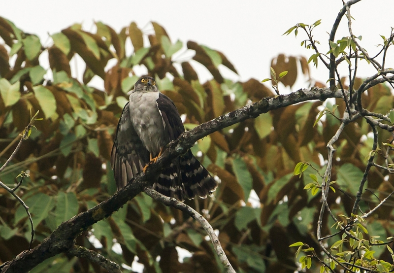 Grey-bellied Hawk