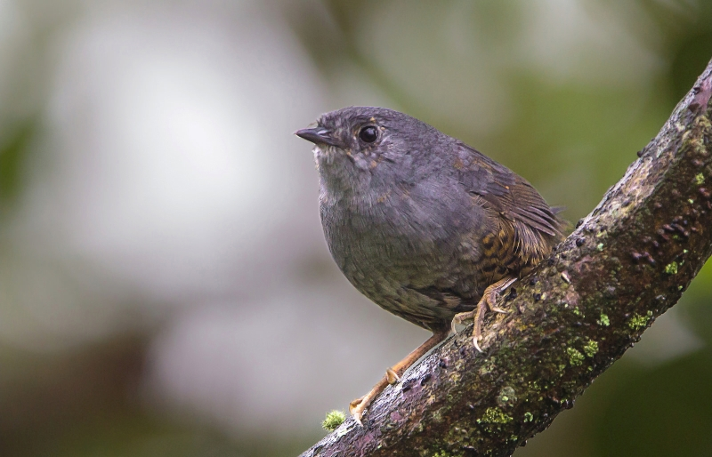 Rock Tapaculo