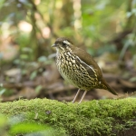 Rufous-tailed Antthrush