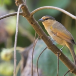 Brown Tanager
