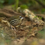Cryptic Antthrush