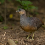 Yellow-legged Tinamou