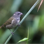 Buffy-fronted Seedeater
