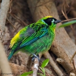 Green-and-gold Tanager