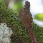 Long-tailed Woodcreeper