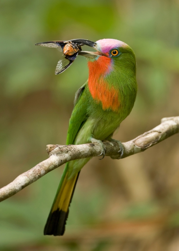 Red-bearded Bee-eater