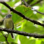 Grey-headed Piprites