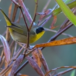 Chiriqui Yellowthroat