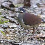 Purple Quail-Dove