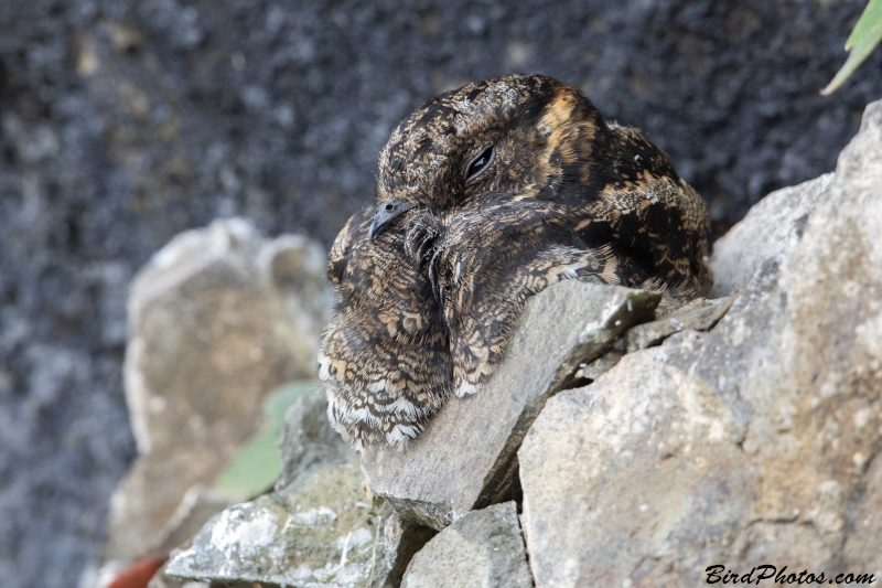Lyre-tailed Nightjar