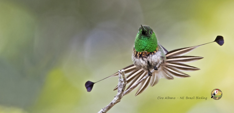 Racket-tailed Coquette