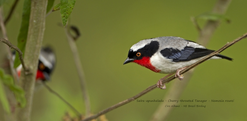 Cherry-throated Tanager