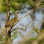 Buff-browed Chachalaca
