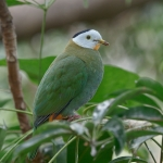 Black-naped Fruit Dove