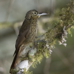 Olive-backed Woodcreeper