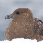 Brown Skua
