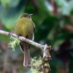 Olive Tufted Flycatcher