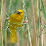 Eastern Golden Weaver