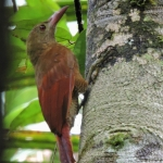 Bar-bellied Woodcreeper