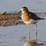 Rufous-chested Plover