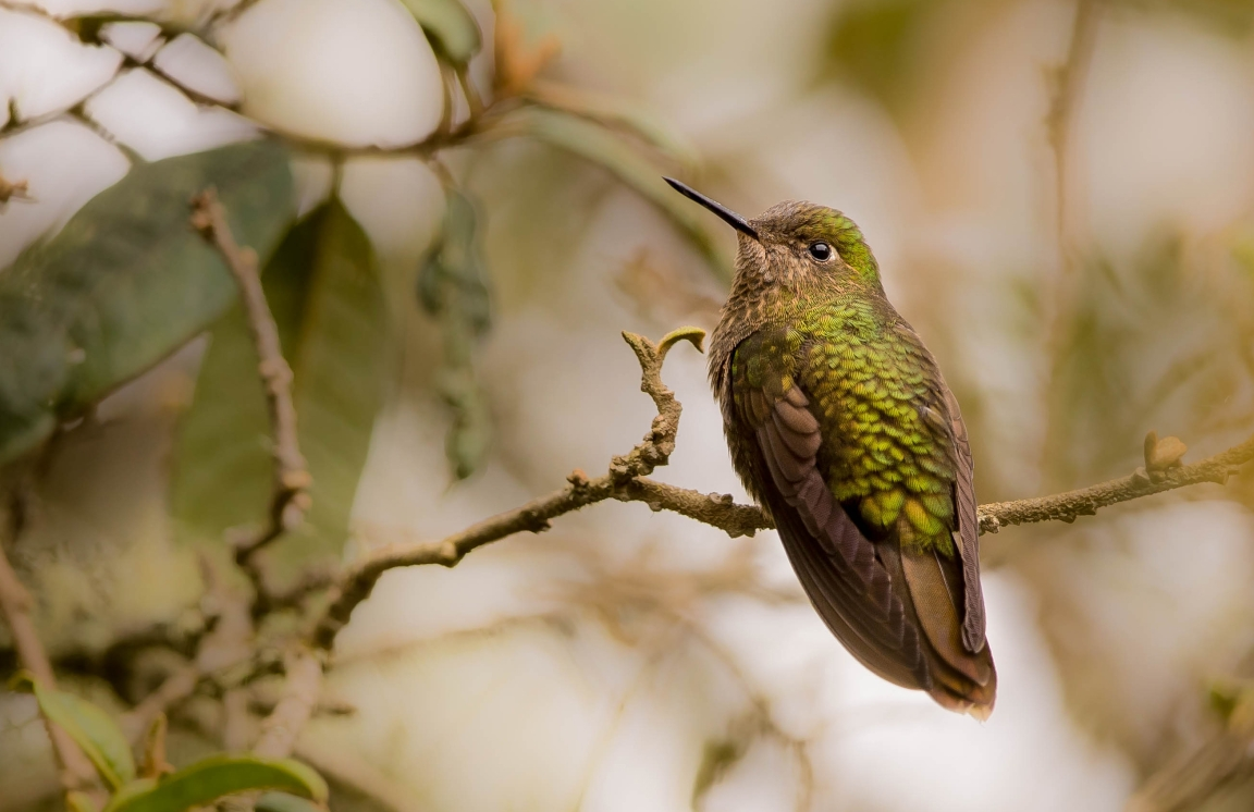 Scaled Metaltail