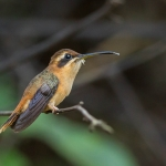 Stripe-throated Hermit