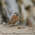 White-capped Bunting