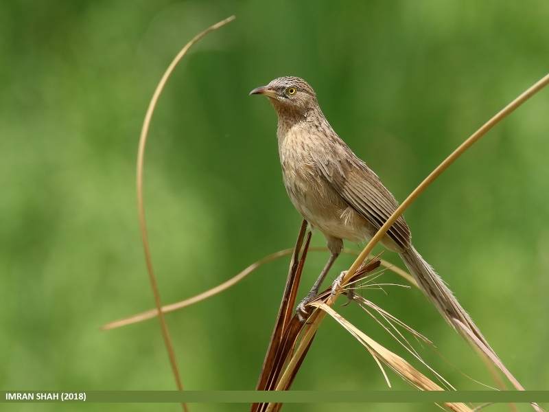 Striated Babbler