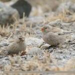 Black-winged Snowfinch